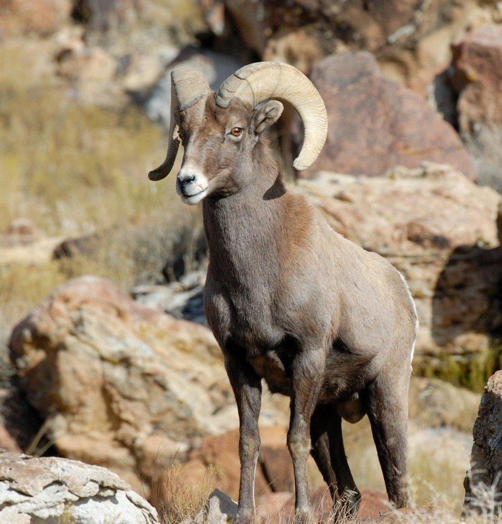 Big-horn-sheep.jpg