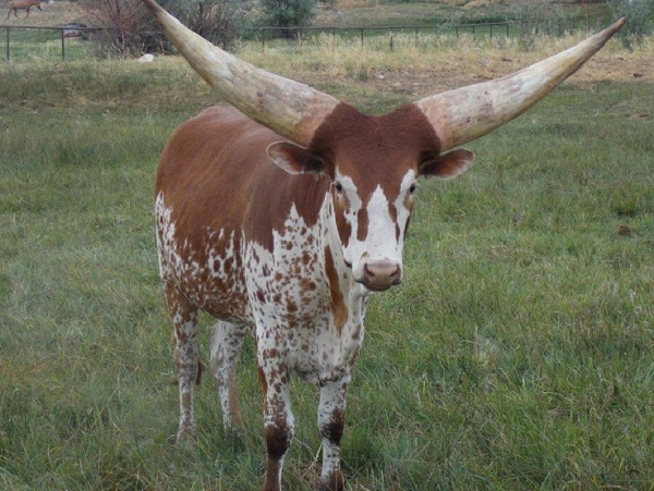 Close-up-cattle1.png