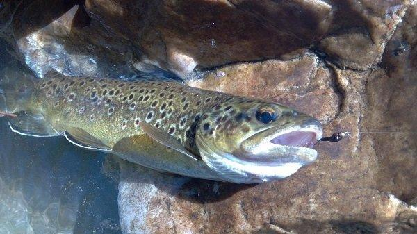phil_4-24-2012_brown_trout_and_lure_2.jpg