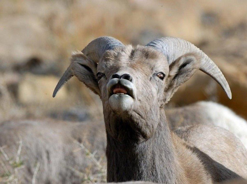 brent_12-1-2012_bighorn_sheep_at_green_river_sheep_watch_11.jpg