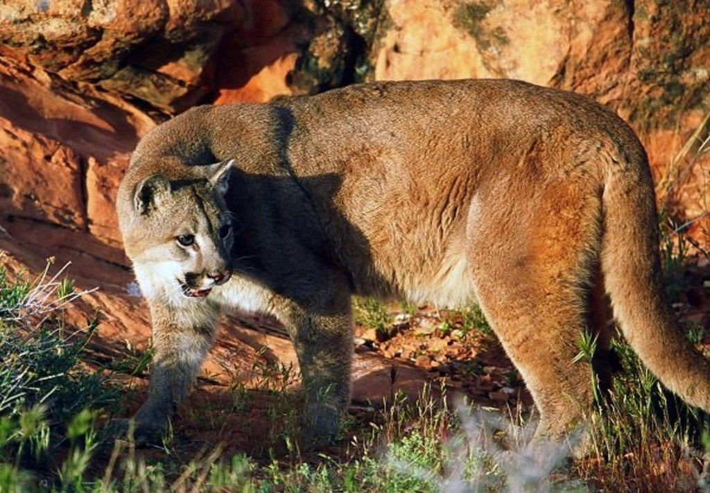 lynn_2011_cougar_1.jpg