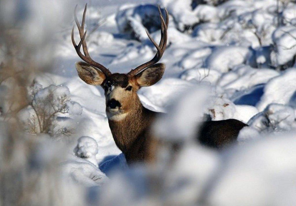 bill_bates_12-10-2013_buck_deer_in_winter.jpg