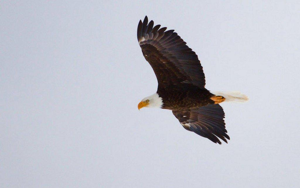 lynn_winter_2011-2012_bald_eagle_3.jpg