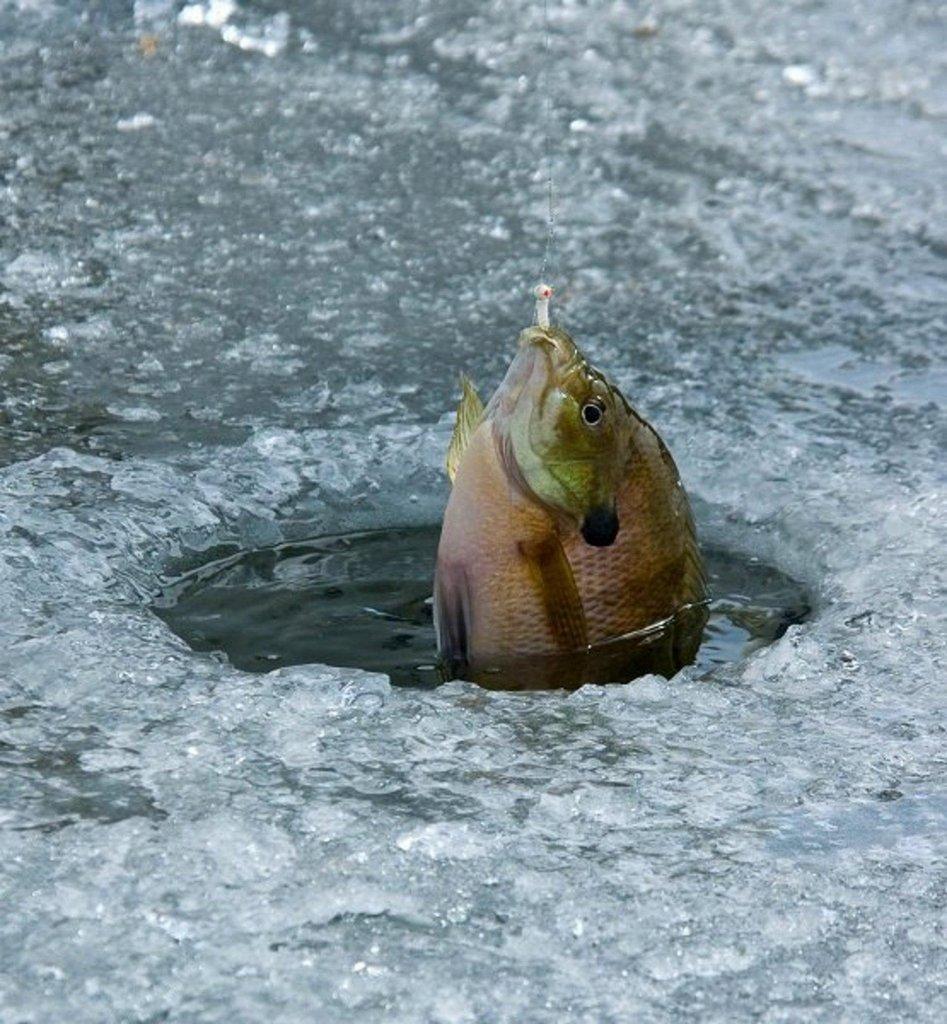 ron_2011_bluegill_caught_through_the_ice_at_pelican_lake.jpg