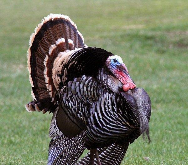 scott_4-12-2012_tom_turkey_1_1.jpg