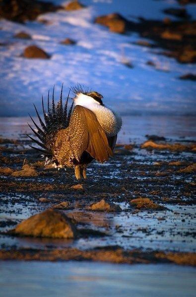 lynn_3-24-2012_male_sage_grouse_on_parker_mountain_1-Copy.jpg
