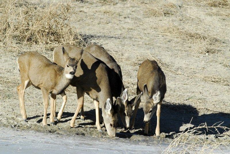 ron_2_21_2012_deer_fawns_in_the_winter_3-Copy.jpg