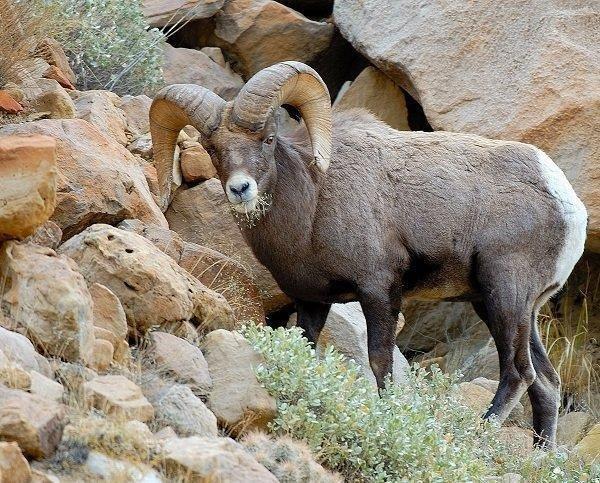 brent_12-2010_Rocky_Mountain_bighorn_ram_1.jpg