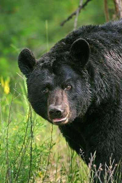 lynn_11-22-2011_black_bear_2.jpg