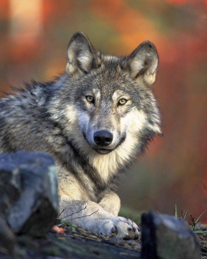 gray-wolf-head-canis-lupus-e1420725749485.jpg