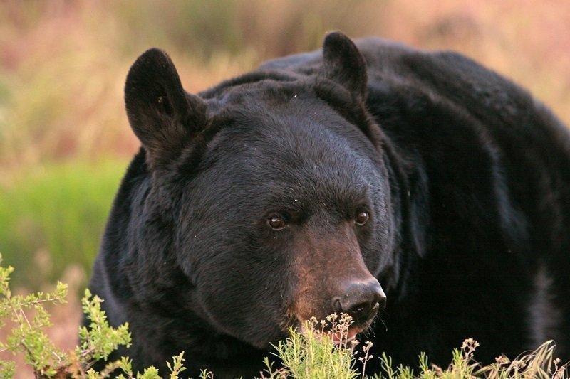 lynn_11-22-2011_black_bear_4.jpg