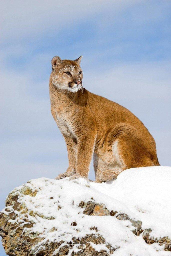 lynn_7-16_2015_cougar_in_snow_4.jpg