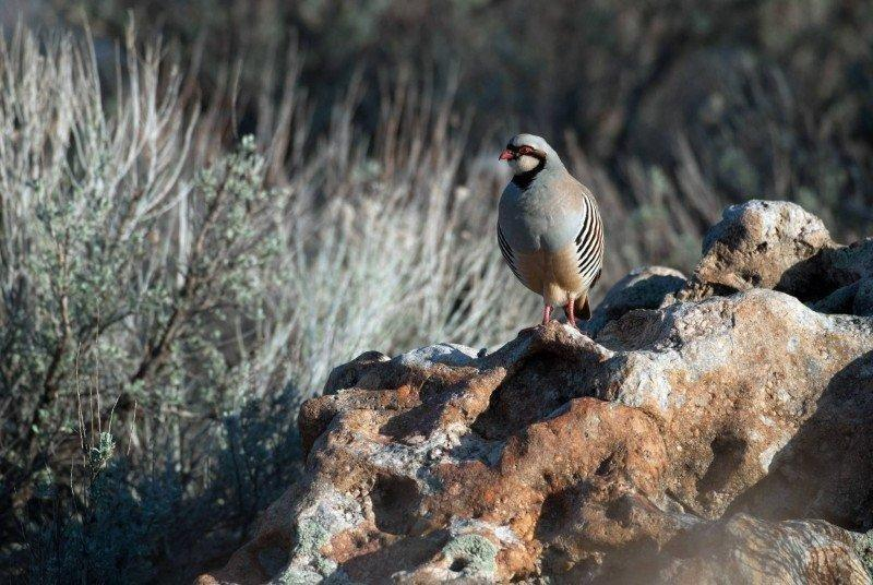 ron_9-16-2013_chukar_partridge_1.jpg