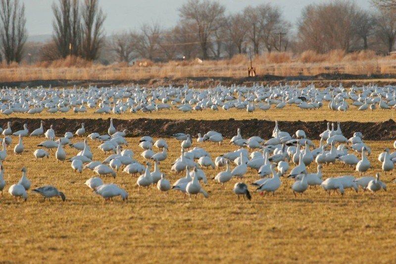 snow-geese-Delta-UT-by-Lynn-Chamberlain-e1446492457655.jpg
