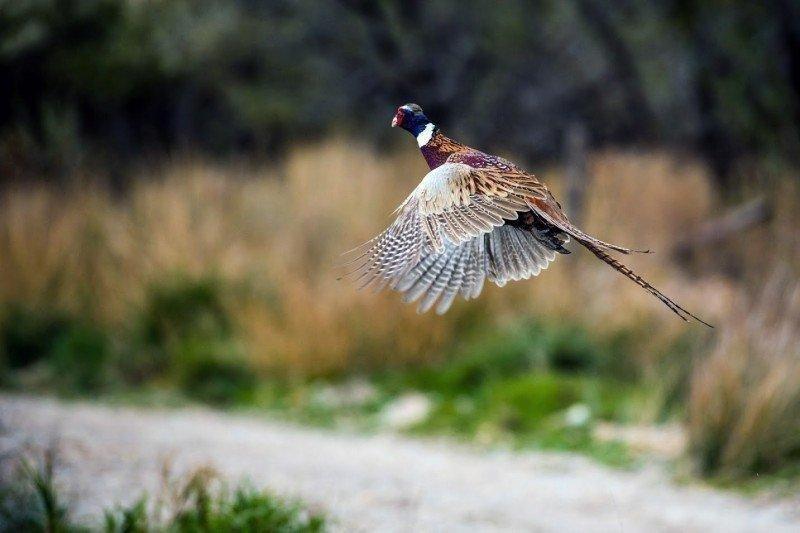 steve_gray_11-6-2015_pheasant_flying_1.jpg