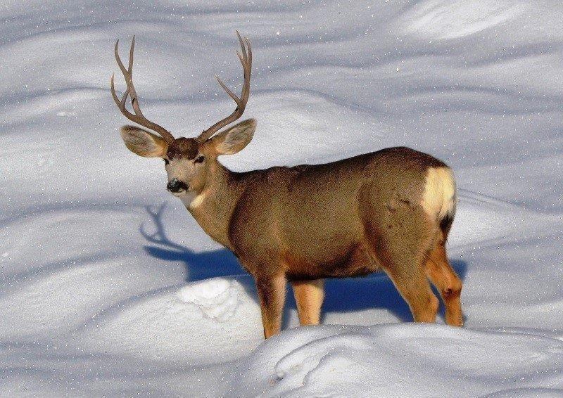 bill_bates_12-10-2013_buck_deer_in_winter_1.jpg