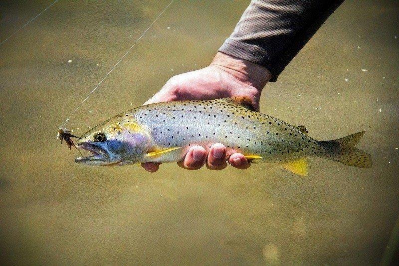 4-11-2016_Bonneville_cutthroat_trout.jpg