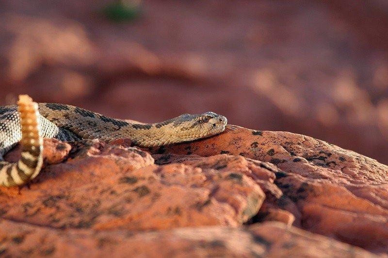 lynn_7-9-2012_Great_Basin_rattlesnake_in_southwestern_Utah_4.jpg