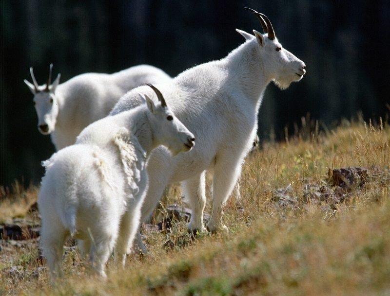 lynn_7-22-2008_three_mountain_goats.jpg