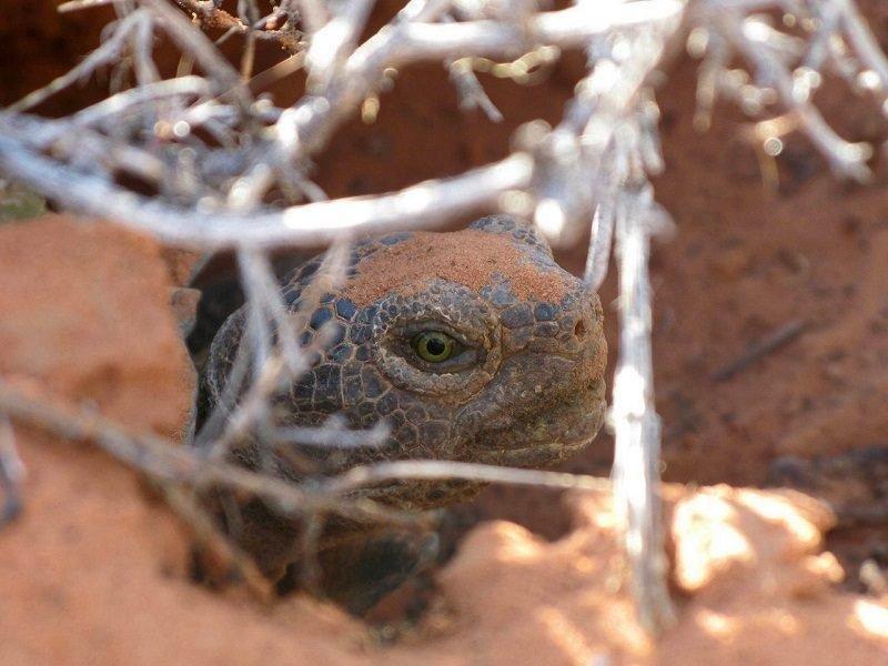 jason_jones_8-2016_desert_tortoise.jpg