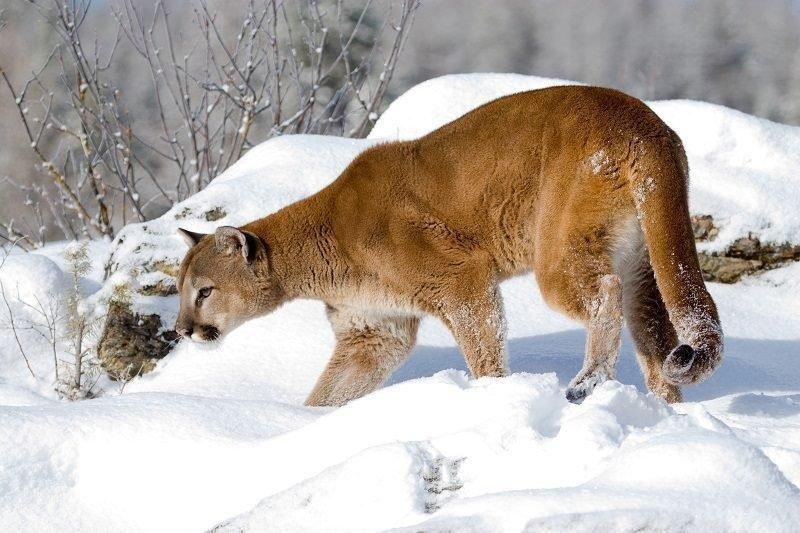 lynn_7-16_2015_cougar_in_snow_1.jpg