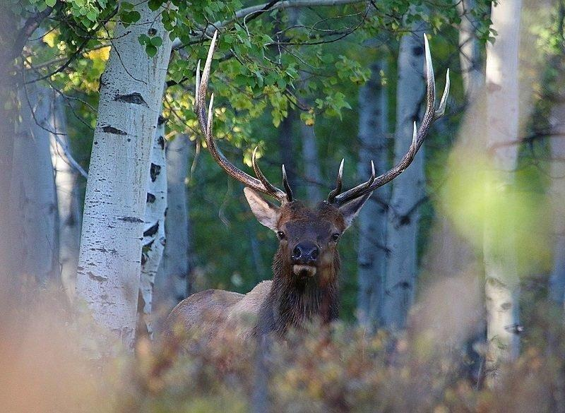 jim_shuler_9-13-2016_bull_elk_in_northern_Utah_5.jpg
