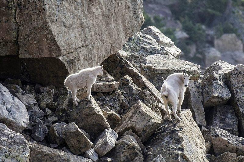 ron_stewart_2-23-2016_mountain_goats_at_rock_creek_1.jpg