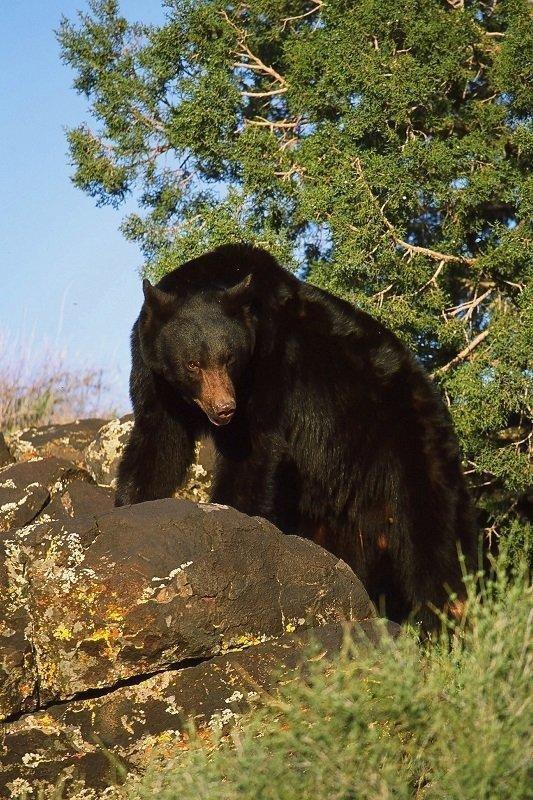 lynn_11-22-2011_black_bear_1.jpg