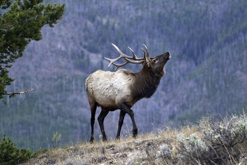 ron_9-26-2012_bull_elk_1.jpg