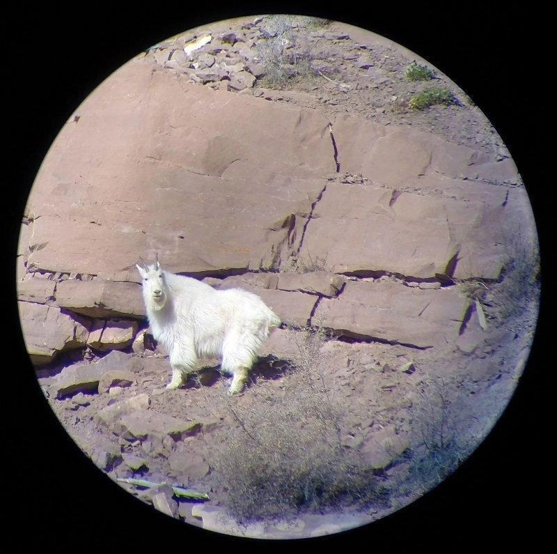 randall_thacker_2-24-2015_rock_creek_mountain_goat_through_spotting_scope.jpg