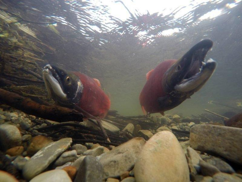 chante_lundskog_8-22-2017_kokanee_salmon_in_the_Strawberry_River.jpg