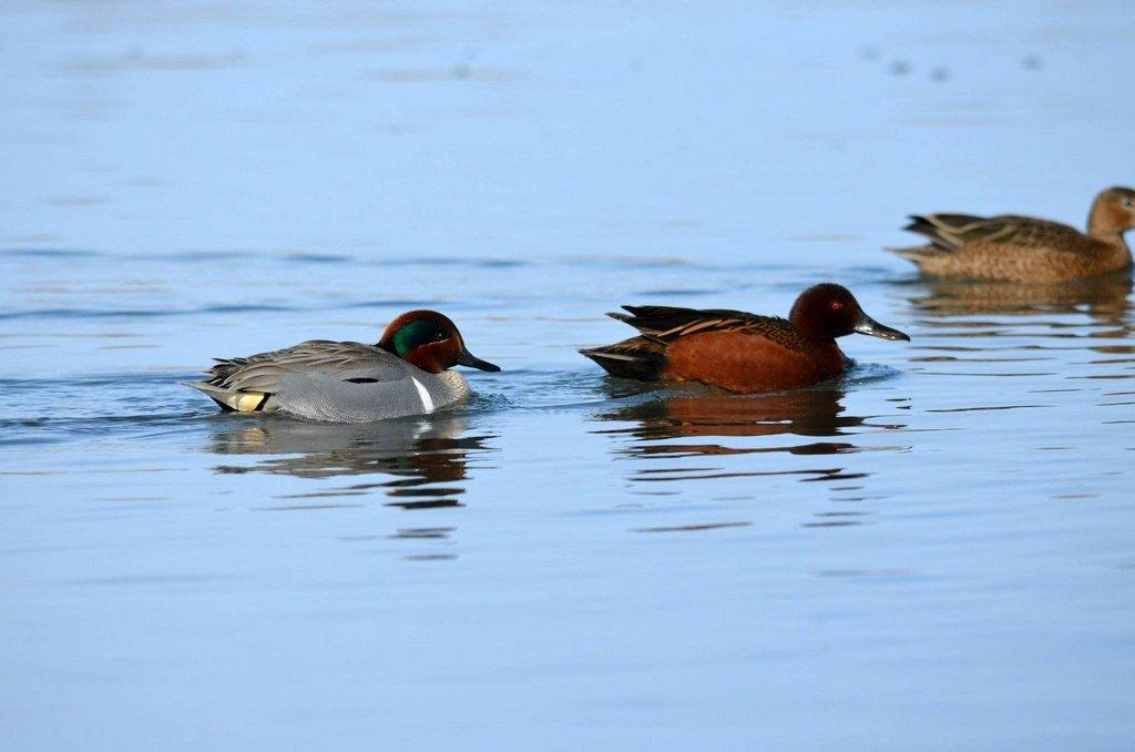 derek_murdock_9_13_2016_green-winged_teal_and_cinnamon_teal_ducks_in_Utah.jpg