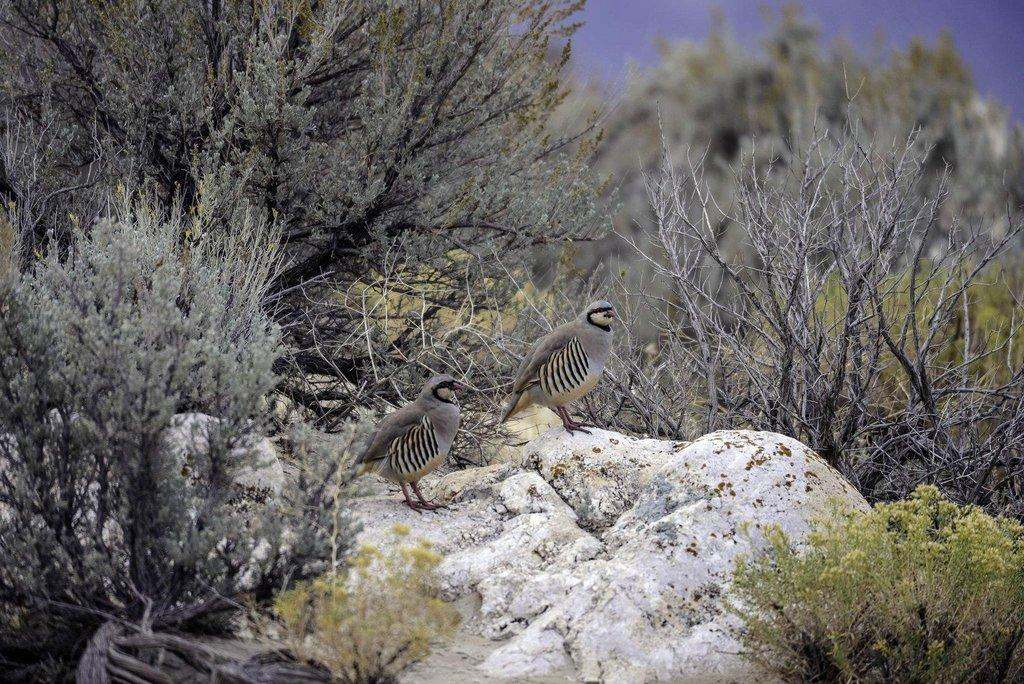 ron_11-13-2013_two_chukar_partridge.jpg
