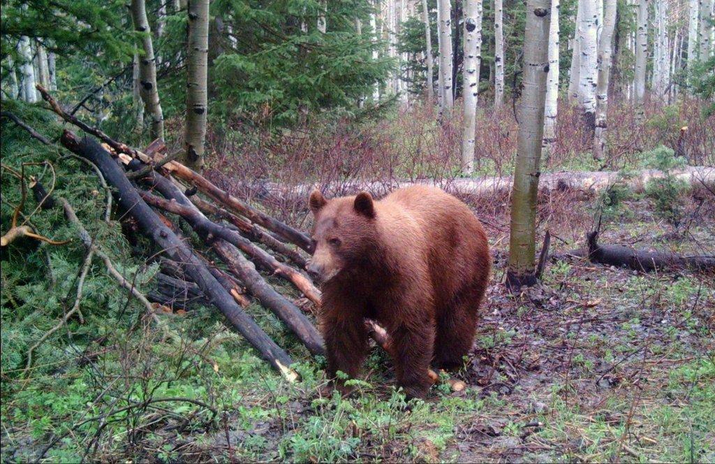 ted_hallows_5-17-2009_black_bear_near_Kamas_1.jpg