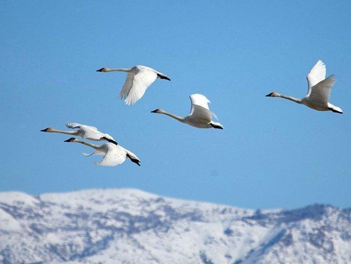 2-23-18_swans.jpg