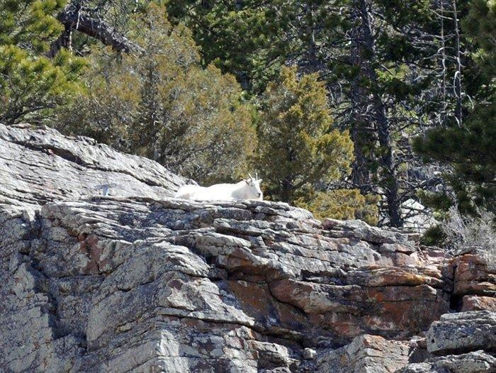 3-16-18_mountain_goat.jpg