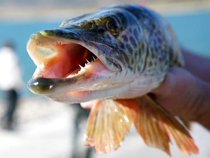 4-27-18_muskie_fish.jpg