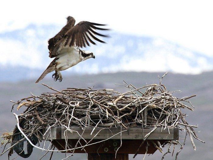 6-29-18_osprey.jpg