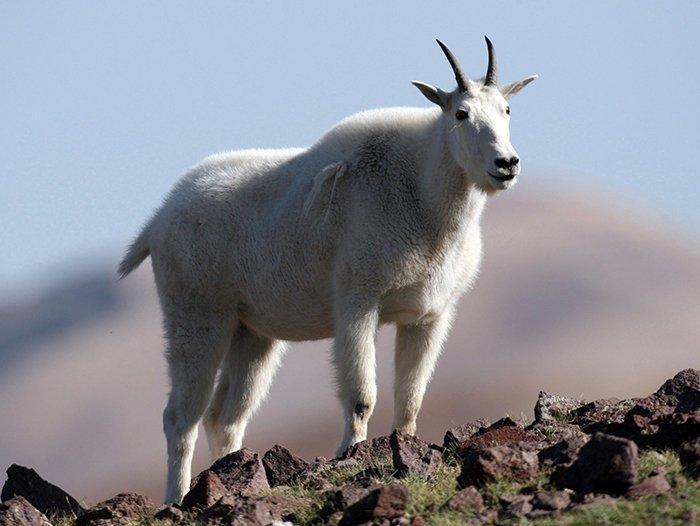7-27-18_mountain_goat.jpg
