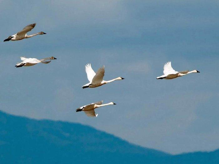 7-6-18_swans.jpg