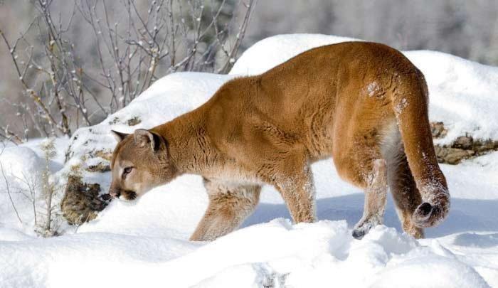 cougar_snow.jpg