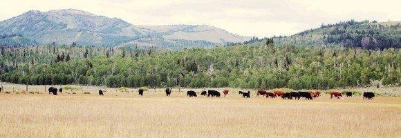 cropped-Cows-in-Joes-Valley-2-small-File.jpg