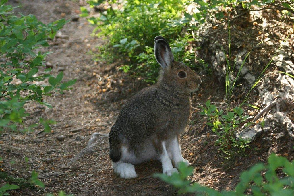 phil_snowshoe_hare_in_summer_coat.jpg
