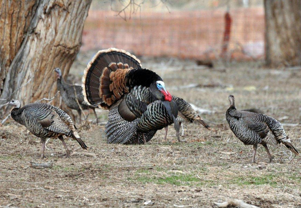 darol_wintle_4-4-2012_hens_with_tom_turkey.jpg