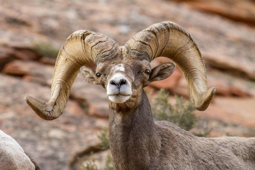 phil_tuttle_9-1-2016_desert_bighorn_sheep_in_Zion_National_Park_2.jpg