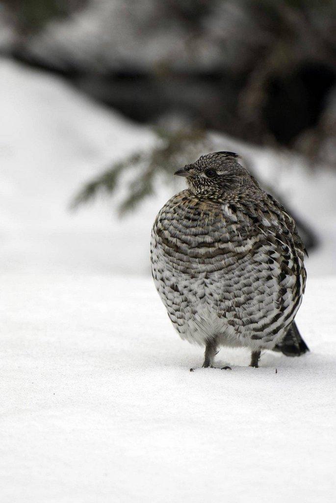 ron_8-21-2014_ruffed_grouse_in_snow.jpg