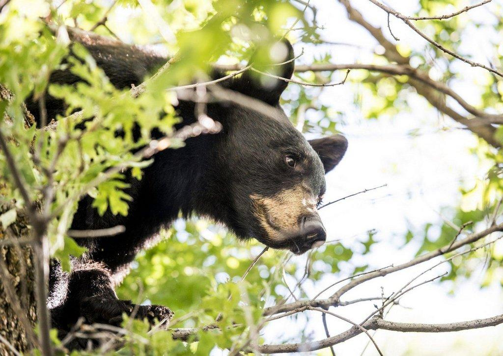 steve_gray_6-2016_young_black_bear_in_north-central_Utah_2.jpg