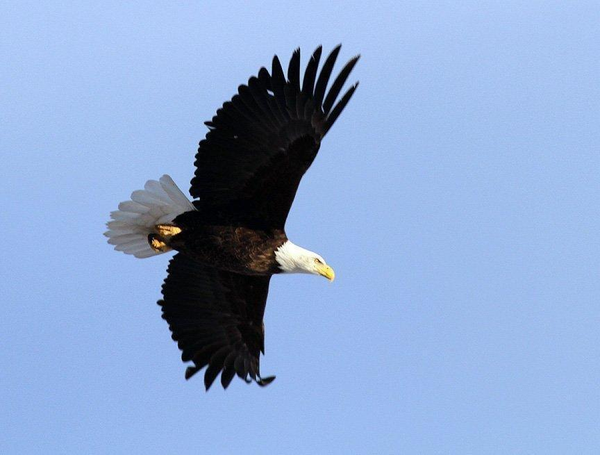 scott_2011_bald_eagle_in_flight.jpg