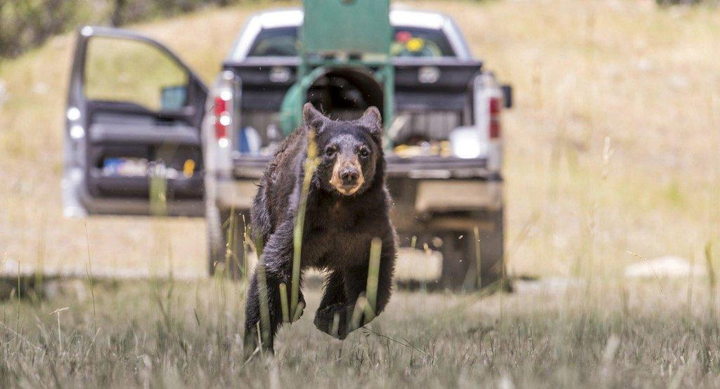 steve_gray_6-25-2016_DWR_releases_young_black_bear_after_the_bear_raided_garbage_cans_in_Wallsburg.jpg