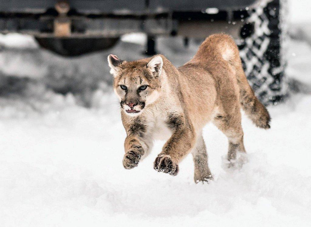 steve_gray_1-2015_cougar_races_from_truck_after_being_moved_out_of_an_urban_area_in_north-central_Utah.jpg